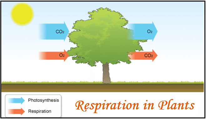 Respiration in Plants: NCERT Solutions