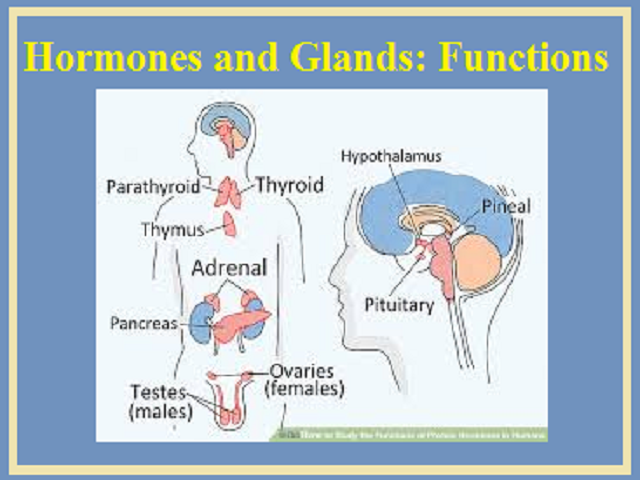 Glands And Hormones In Human Body