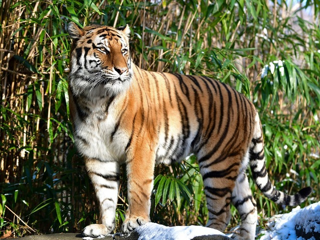 Tiger At New York S Bronx Zoo Gets Coronavirus Indian Zoos On Alert